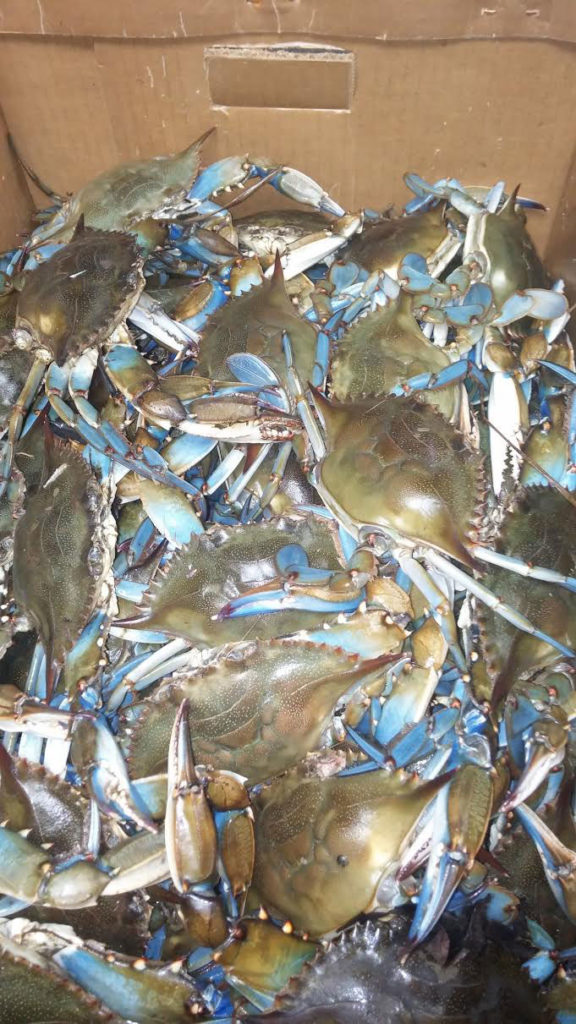 The 2016 Maryland Crab Season is GREAT this year! Pictured here are Maryland Blue Crabs