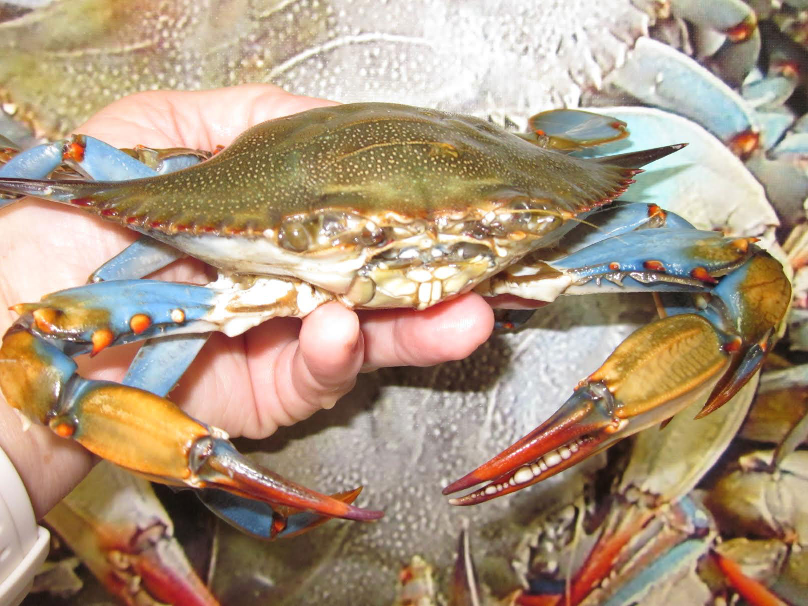 Freshwater fish maryland - Maryland Crab Season Is Great This Year Victoria S Seafood Crabs Victoria S Seafood Crabs